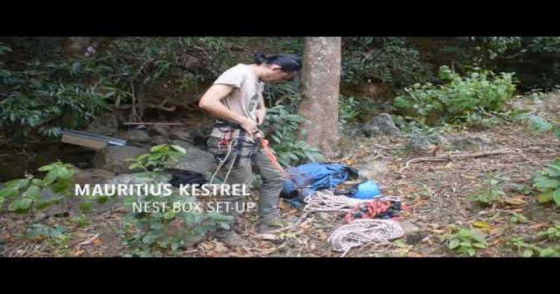 Mauritius Kestrel Nest Box Set up