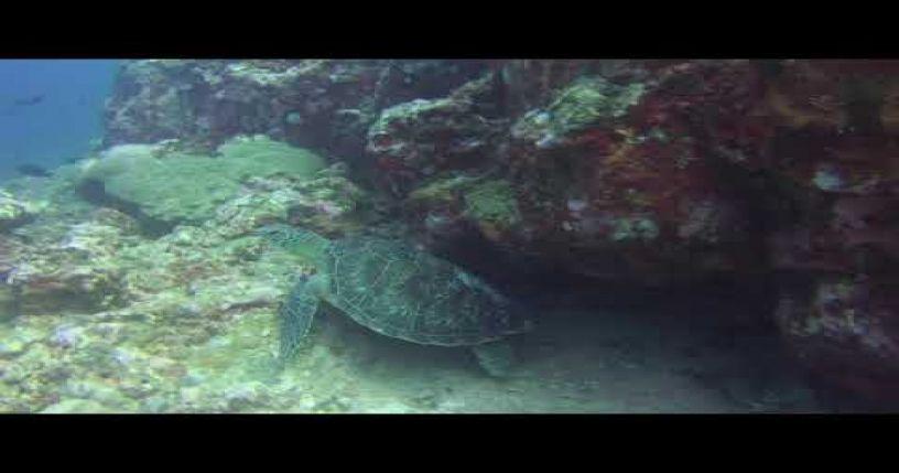 Turtle in Mauritius (Scuba Diving)